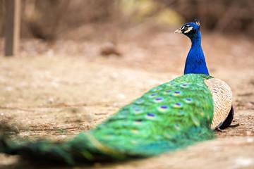wonderful peacock