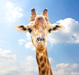 Poster Giraffe Closeup portrait of giraffe on blue sky background.