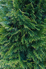 Close-up of the leaves of a cypress tree