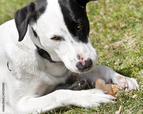 Cane bianco e nero che mangia un panino fotos de archivo e im genes libres de derechos en - Cane che mangia a tavola ...