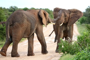 African Elephant Aggression