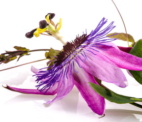 Wall Mural - Passionsblume: Passiflora violacea :)