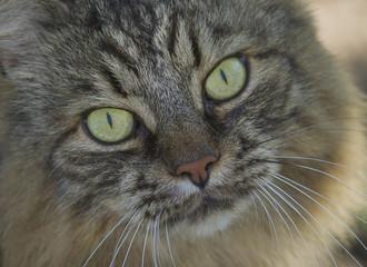 Adult Angora cat