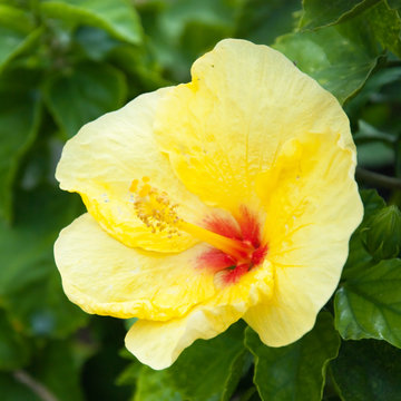 Beautiful view of yellow Hibiscus flower