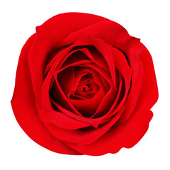 Red Rose isolated on white. Closeup