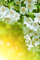 Cherry blossom flowers background