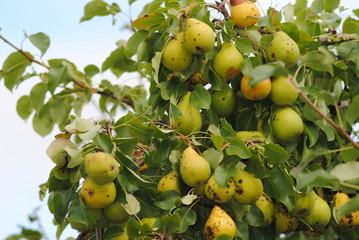 Faulstellen am Obst