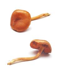 cortinarius mushroom