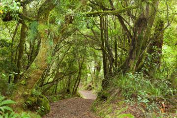 Pathway through rainforest , Te Urewera National Park,  NZ