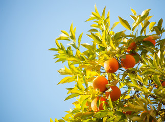 Ripe oranges on a tree branch  in bright sunlight.