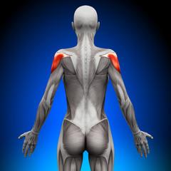 Shoulders - Female Anatomy Muscles