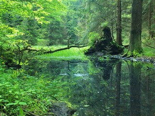 Swamp in forest. Fresh spring  green color. Bended branches