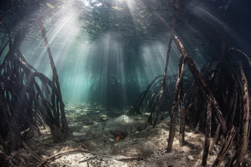 Sunlight in Mangrove Forest