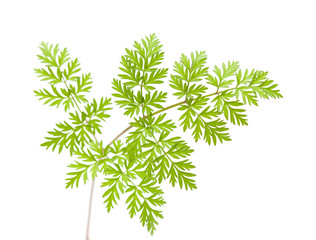 wild parsley leaf