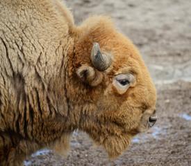 Fototapeta American buffalo
