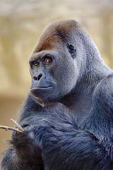 Silverback gorilla.