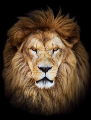 Poster Leeuw Portrait of huge beautiful male African lion against black backg