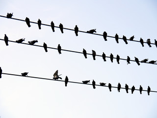 Sparrows on power lines in winter day