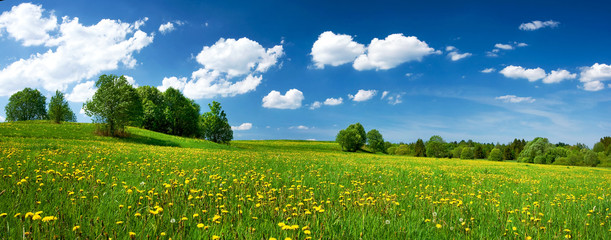 Photo sur Plexiglas Culture Field with dandelions and blue sky