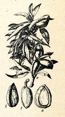 The almond (Prunus dulcis)