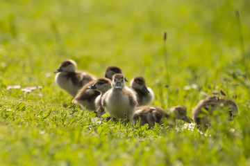 Chicks from a Egyptian goose