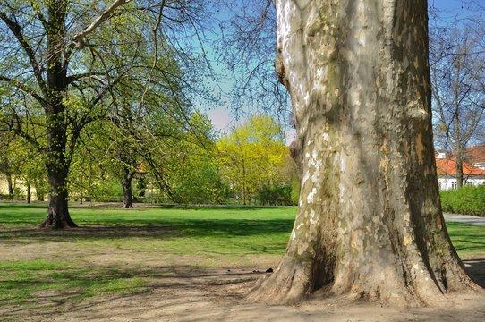 Platanus Orientalis - old Plane tree in the park