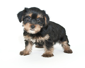 Wall Mural - Morkie Puppy
