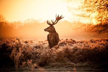 Fototapete - deer