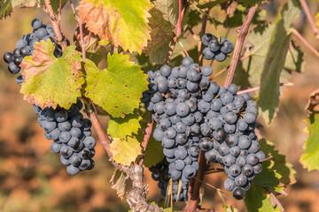 Frankreich - Provence - Weintrauben