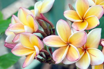 Frangipani Tropical Spa Flower, Plumeria.