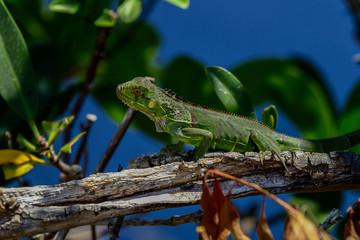 Fotobehang Kameleon green iguana, big pine key