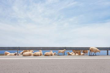 Kreta - Griechenland - Schafsherde