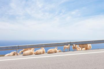 Kreta - Griechenland - Schafe am Straßenrand