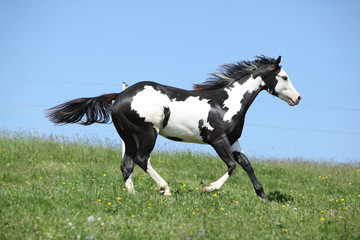 Fototapete - Gorgeous black and white stallion of paint horse running