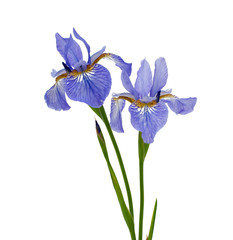 Acrylic Prints Iris blue iris isolated on white background