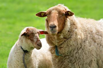 Coburger Fuchsschaf  Muttertier mit Lamm