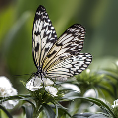 Nymph Butterfly on a White Flower