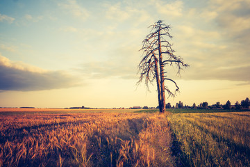 vintage photo of summer sunset over cereal field