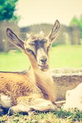 vintage goat portrait