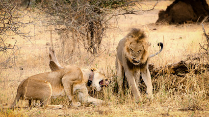 Lions in Tarangire National Park, Tanzania
