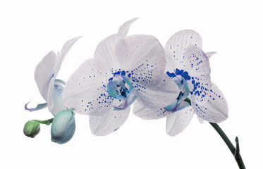 Tuinposter Orchidee orchid flowers with large and small blue spots