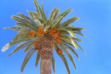 Palm tree with orange fruits on blue sky