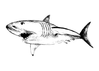 Hand drawing of a shark. Vector illustration