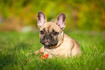Fototapete - French bulldog puppy playing with a flower