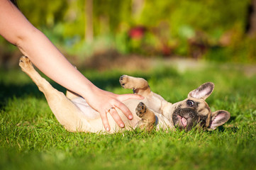 Fototapete - Funny french bulldog puppy lying on the lawn