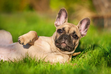 Fototapete - French bulldog puppy lying on the lawn