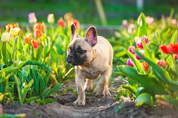 Fototapete - French bulldog puppy walking in flowers