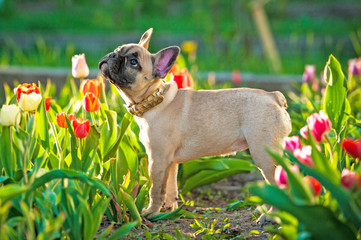 Fototapete - French bulldog puppy standing in flowers