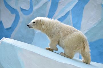Белый медведь идёт в гору.