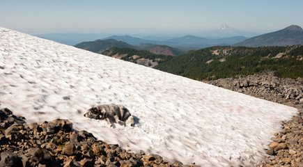 Large Breed Dog Laying Snowfield High Mountain Oregon Cascade